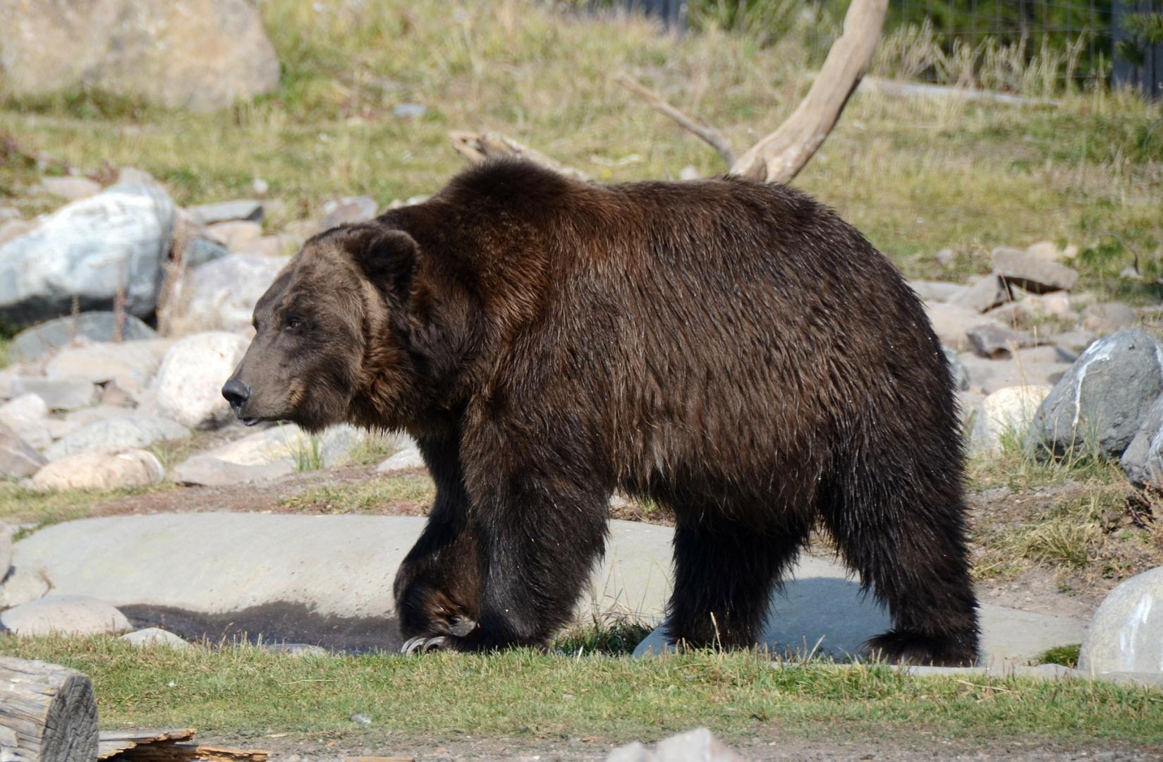 есть члан медведя фото предполагают, что причиной