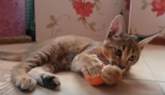 Кошка породы каракет