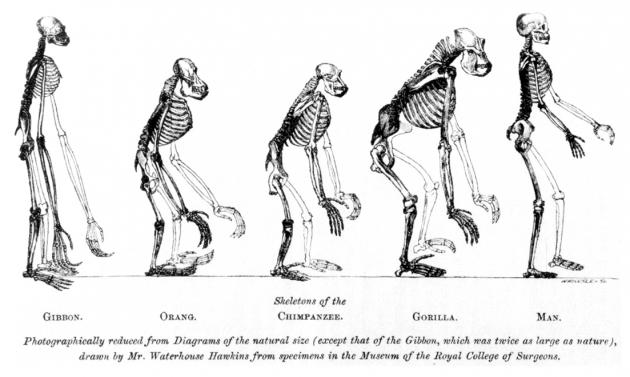 Изображение с фронтисписа работы Гексли «О положении человека в ряду органических существ» (1863), на котором сопоставляются скелеты обезьян и человека