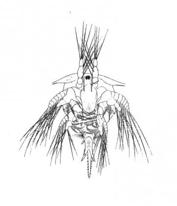 Науплиус личинка балянуса с фронто-латеральные рога