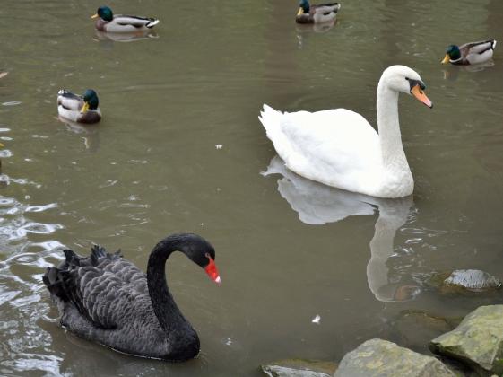 «Белый лебедь» из США, «черный лебедь» из Италии