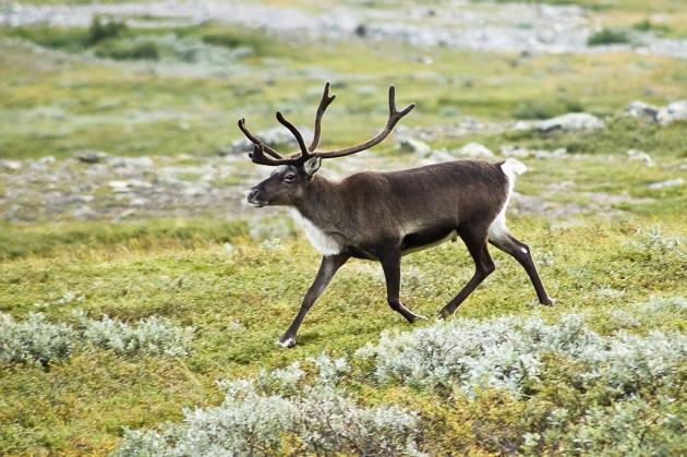 Сибирская язва и санкции не повлияли на экспорт оленины с Ямала