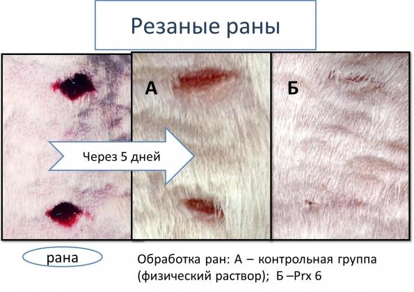 Рис. 4. Эффект пероксиредоксина 6 (Prx6) при лечении резаной раны