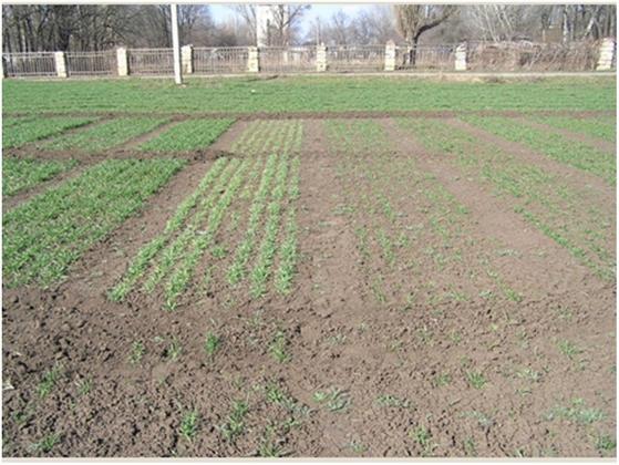 Рис. 2. Выпадение растений на искусственно зараженном поле в институте при использовании неэффективных химических протравителей