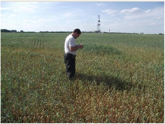 Рис. 6. Вид поля с признаками поражения пшеницы корневыми гнилями смешанного бактериально-грибного происхождения