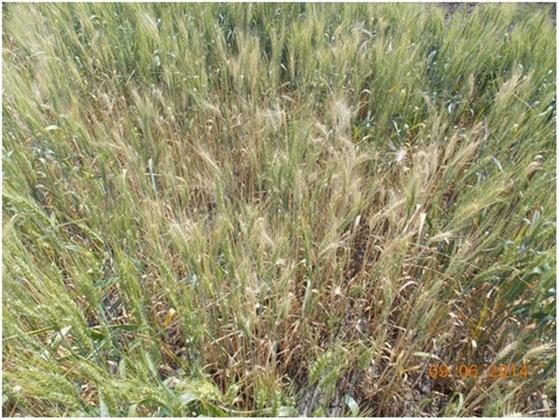 Рис. 7. Поражение пшеницы корневыми гнилями (Ставропольский край)