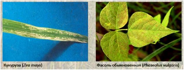 Рис. 15. Поражения озоном кукурузы и фасоли