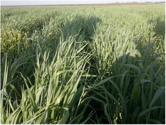 Рис. 23. Широкорядные посевы в Казахстане