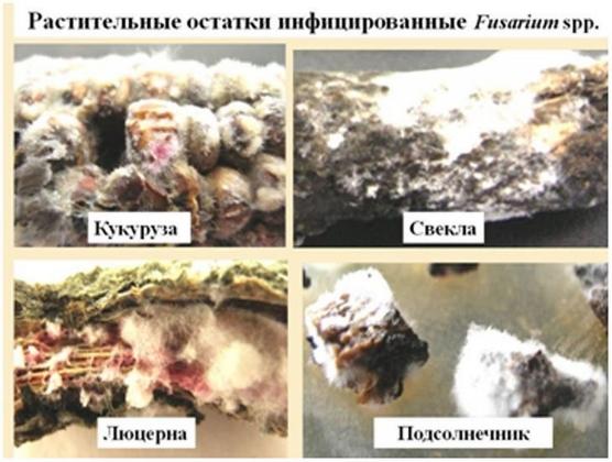 Рис. 6. Растительные остатки, инфицированные патогенными грибами фузариями