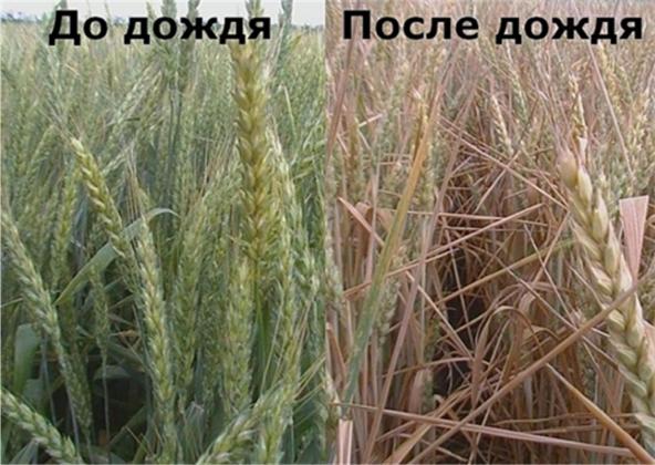 Рис. 9. Внешний вид пораженной фузариозом пшеницы