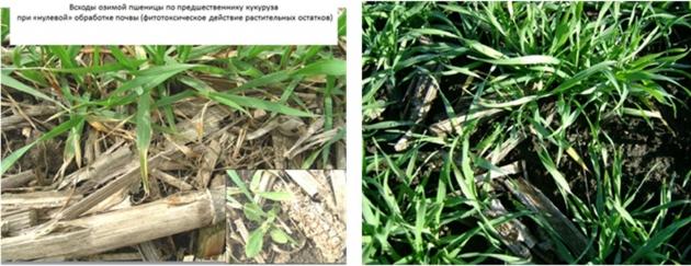 Рис. 18. Слева — всходы озимой пшеницы, отравленной фитотоксинами остатков кукурузы. Справа — то же с препаратами СТИМИКС