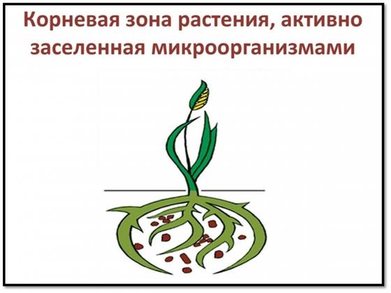 Рис. 5. Схема взаимоотношений растения с ризосферной микрофлорой