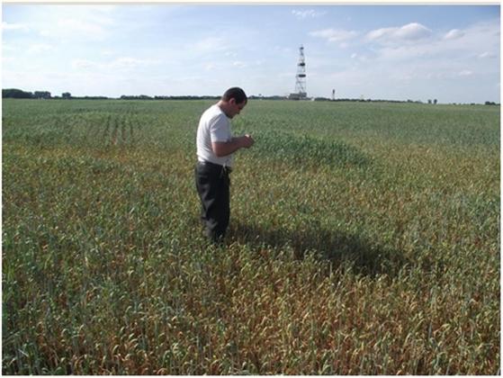 Рис. 8. Поле пшеницы, пораженной смешанными корневыми гнилями бактериально-грибного происхождения