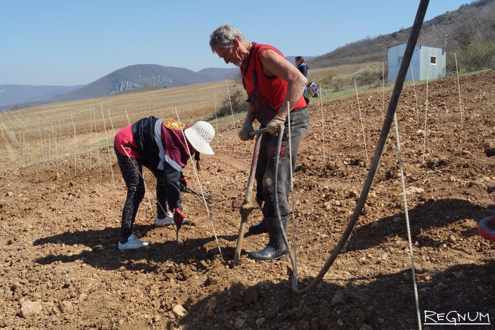 На следующий год саженец даст 30-сантиметировые ростки, которые нужно закрепить и направить лозу