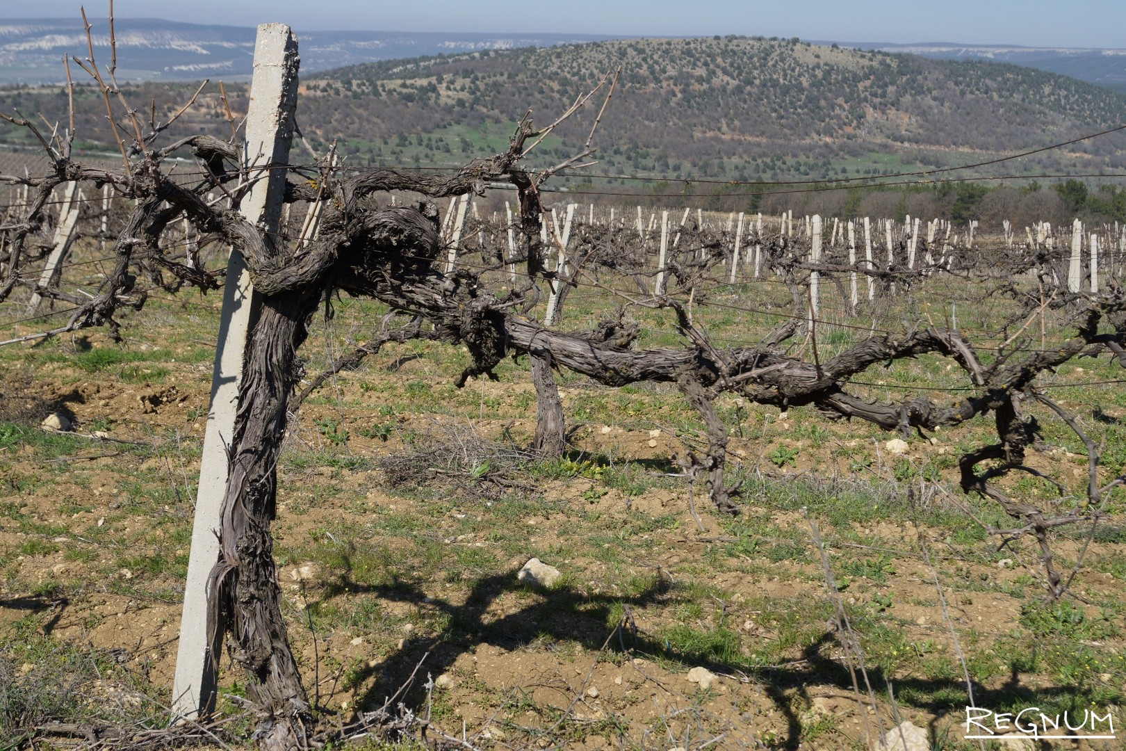 Старый виноградник, сорт «Мускат Италия»