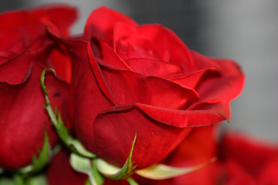 Картинка розы любви