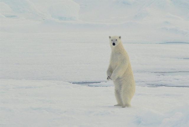 Белый медведь, Британский канал, ЗФИ. Фото — М. Иванов
