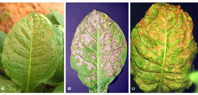Рис. 3. Нарастание поражения приземным озоном листьев табака, одного из самых чувствительных к озону растений