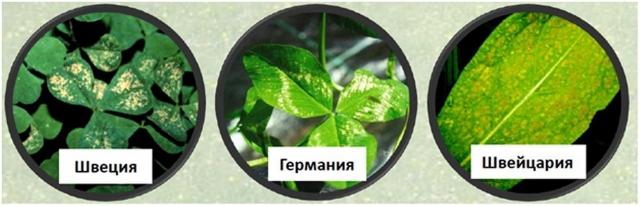 Рис. 1. Типичные поражения листьев растений приземным озоном, наблюдающиеся в странах Европы