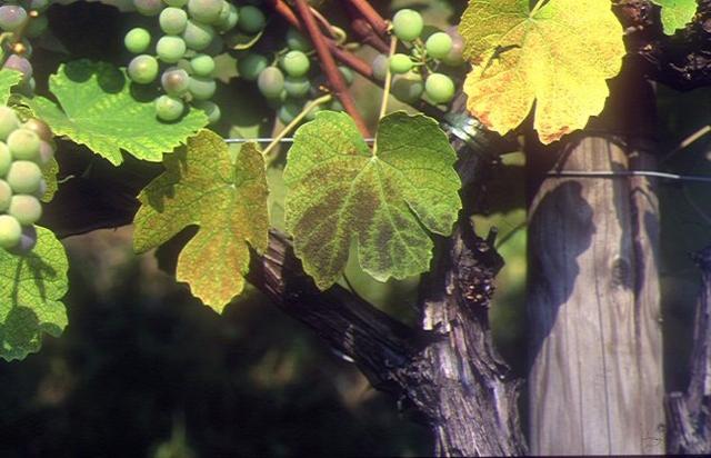 Рис. 2. Поражение озоном листьев винограда (Южная Швейцария)