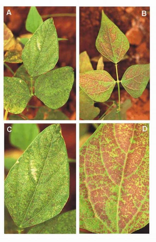 Рис. 5. Поражение озоном листьев фасоли сорта Матильда (A, В — молодые листья; С, D — старые)