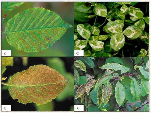 Рис. 6. Видимые поражения озоном листьев a) граба, б) клевера, в) ивы и г) черёмухи