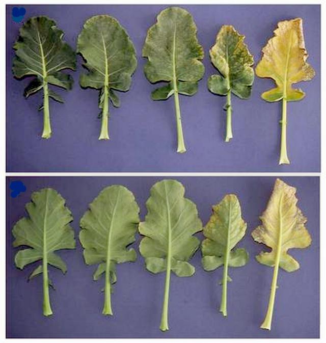 Рис. 4. Нарастание поражения брокколи с ростом концентрации озона на верхней (верхний ряд) и нижней поверхностях листьев