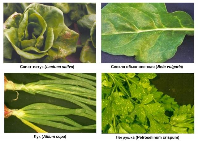 Рис. 9. Видимые повреждения озоном листьев салата-латука, свеклы, лука и петрушки