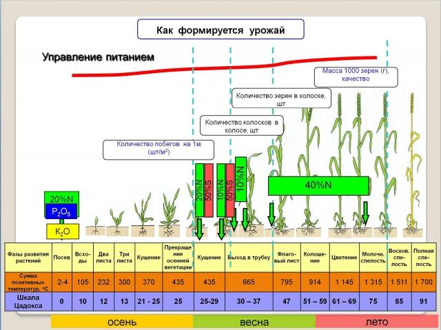 Рис. 2. Минеральные подкормки в фазы формирования элементов урожайности озимой пшеницы (по данным Фанни Куперман)