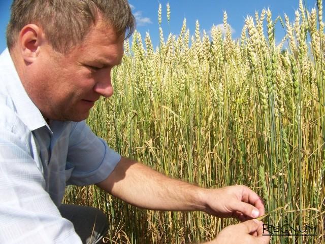 Хаведующий сектором растениеводства отдела АПК администрации Хабарского района Сергей Чавкунькин демонстрирует урожайность зерновых