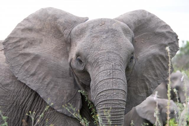 Индийские охотники застрелили слона-убийцу, раздавившего 15 человек