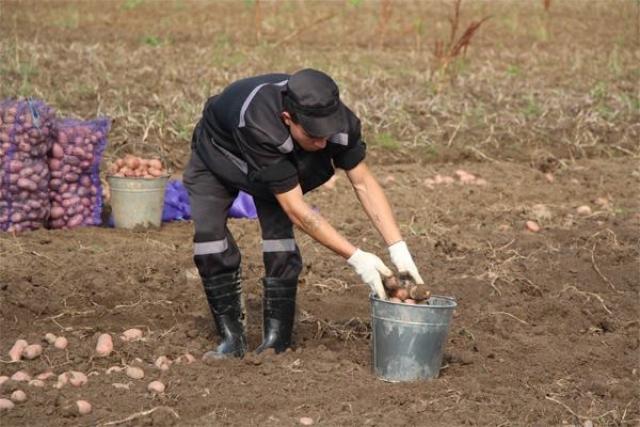 В Ярославле осужденные начали уборку урожая