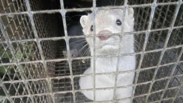 В Карелии на частной звероферме от голода массово гибнут норки и лисы