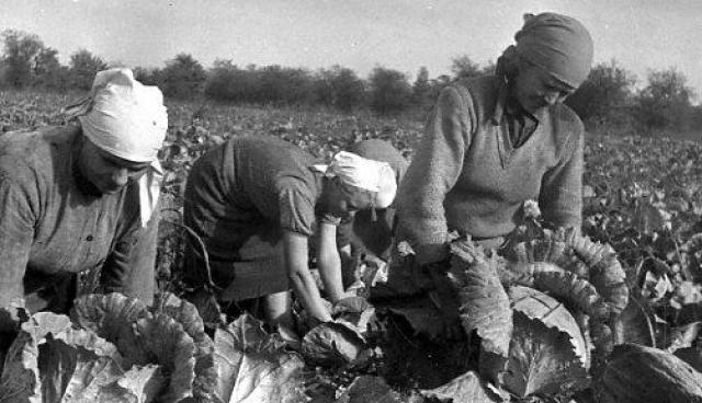 Уборка капусты в колхозе