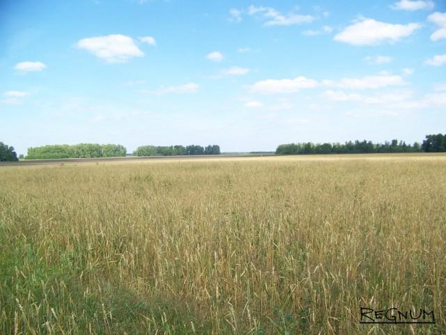 Пшеничное поле. Алтайский край