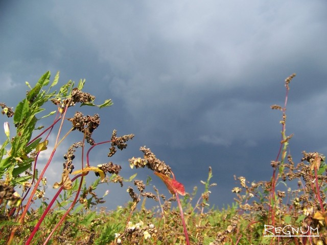 Алтайская гречиха в поле