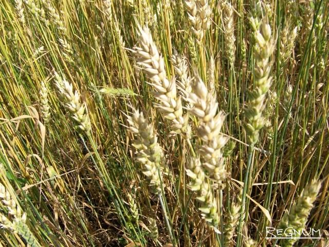 Алтайская пшеница в поле