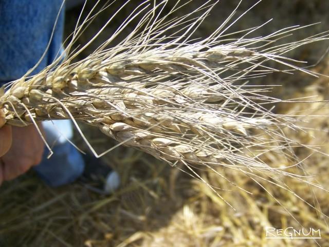 Озимая пшеница. Алтайский край