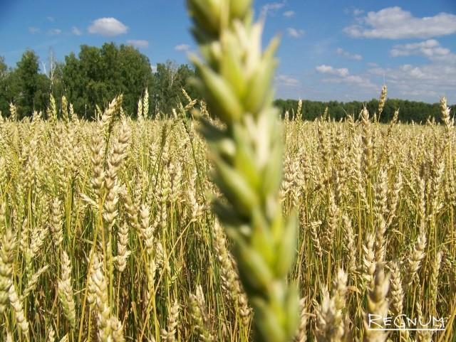 Алтайский край ожидает начала точечных зерновых интервенций