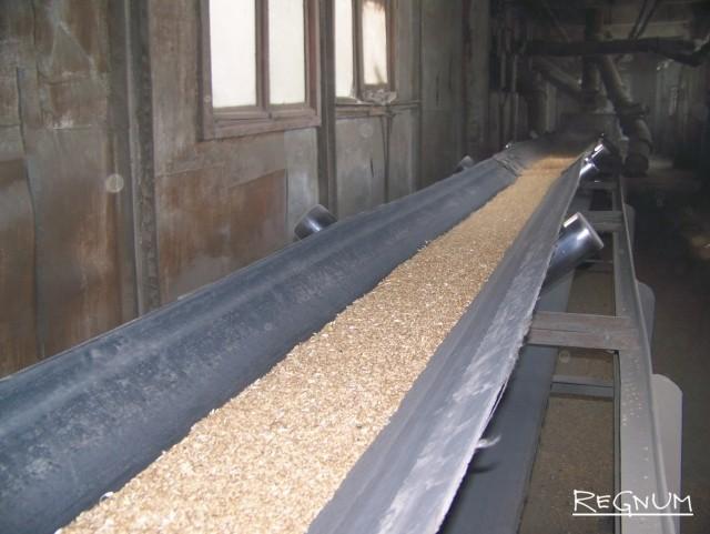 Зерно на транспортёрной теле Ребрихинского элеватора