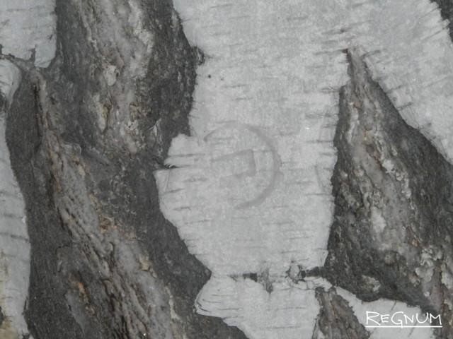 Клеймённый ствол дерева в Тягунском лесничестве означает, что оно будет спилено