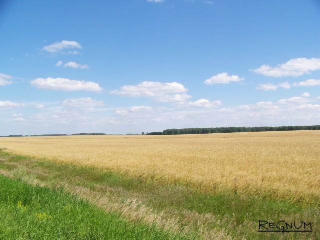 Зерновое поле. Алтайский край
