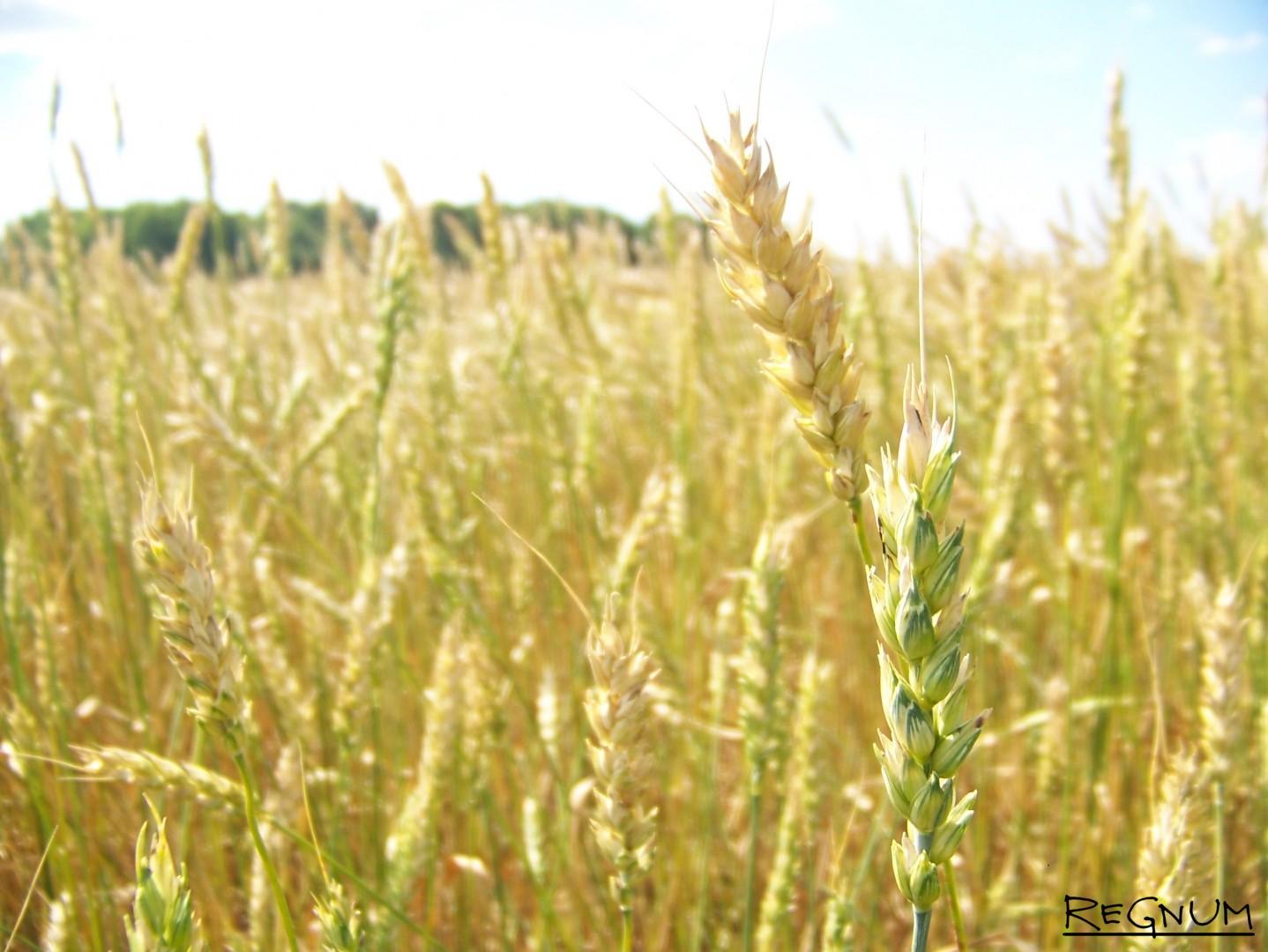 Алтайское зерно в поле
