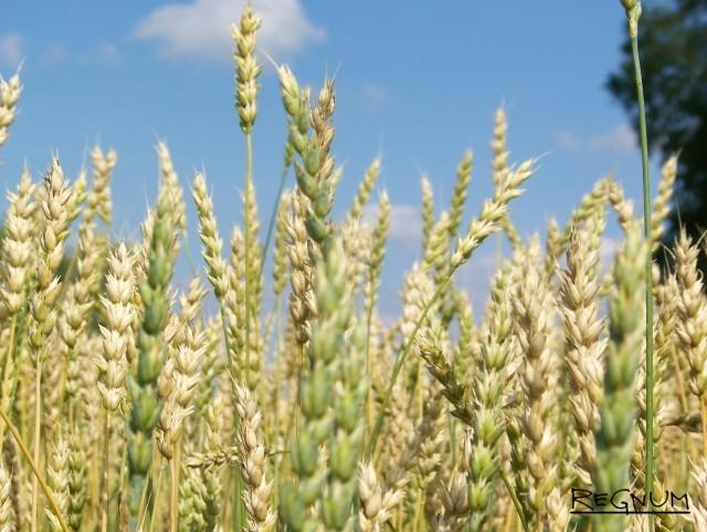 Колосья Алтайской пшеницы
