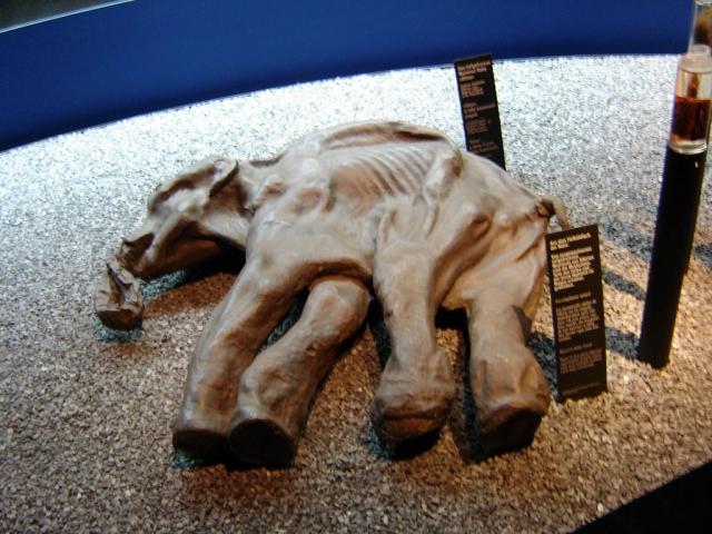 Извлечённый из многолетней мерзлоты Киргиляхский мамонт Дима