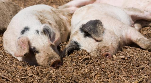 Россельхознадзор пророчит животноводству ЕС «колоссальные потери» из-за АЧС