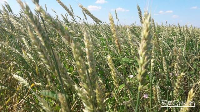 Алтайская пшеница в колосе