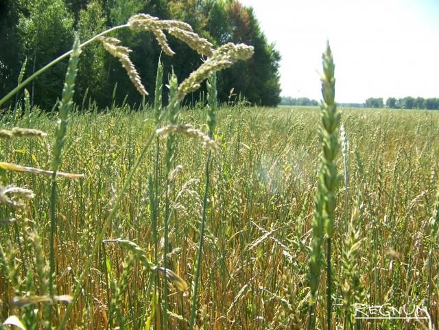 Поле с зерновыми