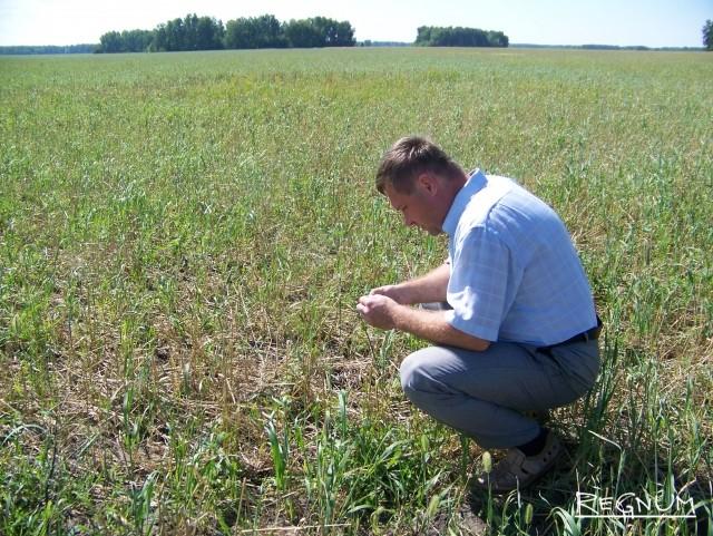 Алтайский агроном исследует пострадавшее поле зерновых