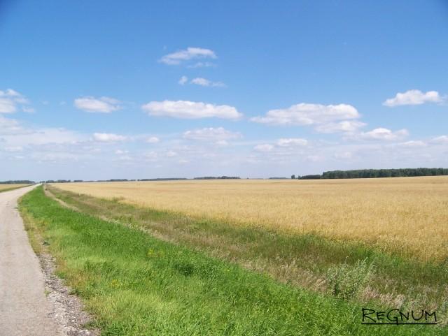Озимые. Пшеничное поле на Алтае